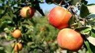Picking apples video