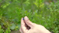 picking blueberries slow motion video