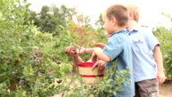 Picking blueberries together video