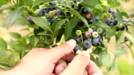 Picking blueberries video