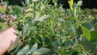 Picking blueberries (HD) video