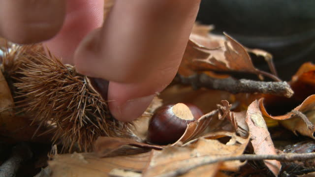 HD: Picking Chestnuts video
