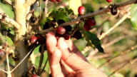 Picking coffee beans video