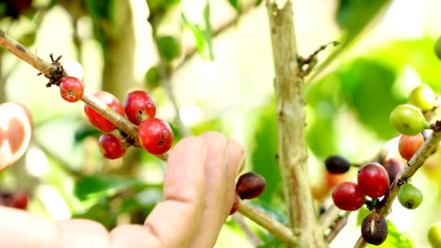 Picking coffee beans,Slow motion video