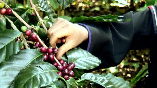 Picking Coffee Close Up HD video