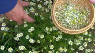 picking fresh medical herb chamomile in garden video