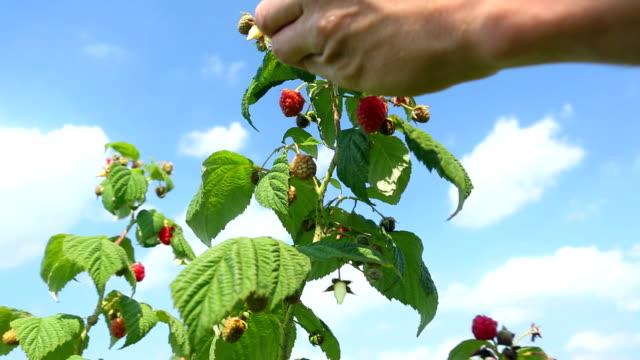 Picking fresh raspberries - 2 shots video