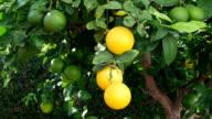 Picking lemons from tree video