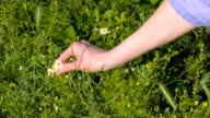 picking of chamomile video