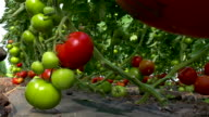 Picking organically-grown tomatoes video
