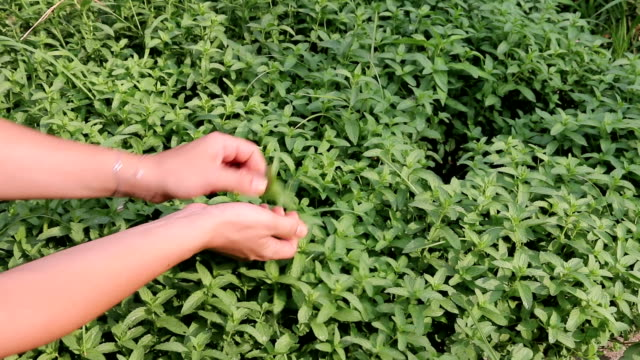 Picking Peppermint from Field video