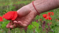 Picking poppy slow motion video