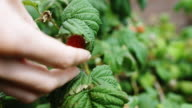 Picking Raspberry from under Leaf video