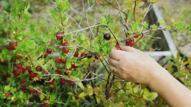 Picking Red Gooseberries video