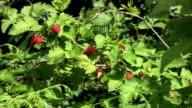 Picking Ripe Berries video