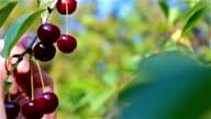 Picking ripe cherries video