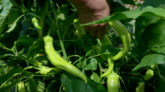 Picking ripe yellow peppers vegetables video