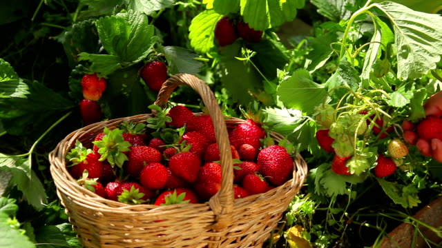 picking strawberries in a basket video