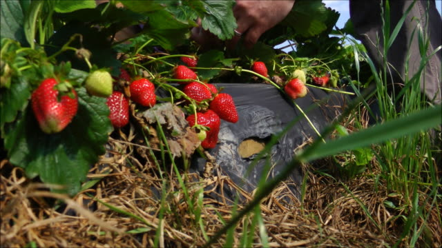 Picking Strawberries video