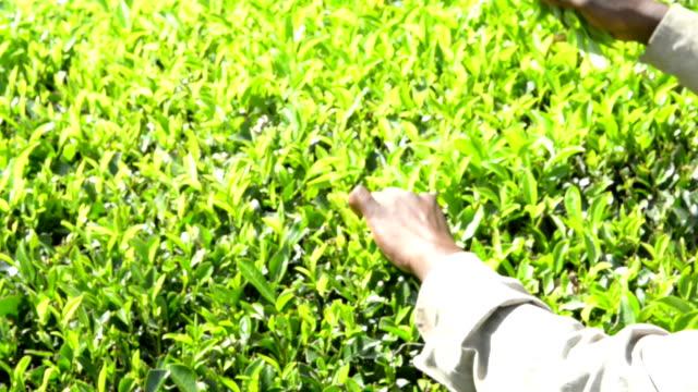 Picking tea leaves on plantation video