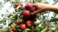 Picking three apples video