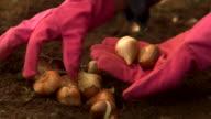 HD - Picking up Flower Bulbs video