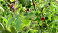 Picking wild raspberries video