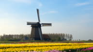 AERIAL: Picturesque colorful blooming tulips and old vintage wooden windmill video