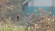 pied bushchat bird resting on the branch video
