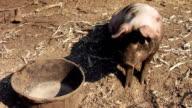 Pig and Empty Barrel video