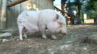 HD: A pig and horse video