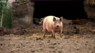 Pig, coming your way, HD video