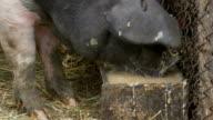 Pig Eating Hogwash video
