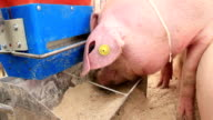 Pig eats video