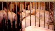 Pig farm and piglets video