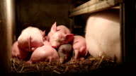 Pig farm - liitle pigs napping video