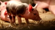 Pig farm - little pig walking and eating hay video