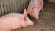 pig farm video