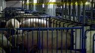 Pig Farming video