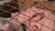 pig in a box video