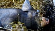Pig in farm video