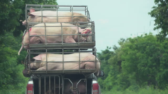 Pig in pigsty on truck video
