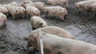 Pig on the farm. video