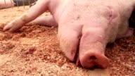 Pig sleeping video