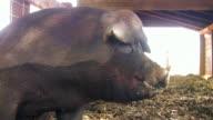 Pig Snout V.2 (HD) video