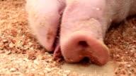 Pig snout video