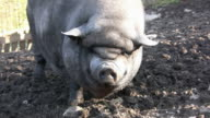 HD: pig video