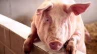 Pig... video