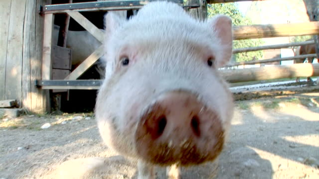 HD SLOW-MOTION: Pig video