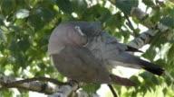 Pigeon, bird on branches video